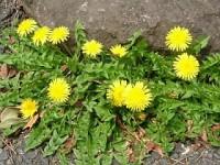 Summer dandelion flowers-200x150