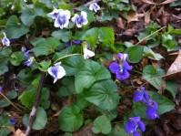wild violets-199x149