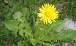 Nutrition: Local Superfood – Dandelion