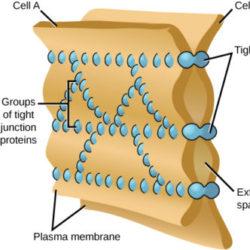 Zonulin, Gluten, Glyphosate And Tight Junctions