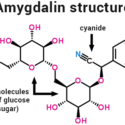Amygdalin And Laetrile – History And Current Usage